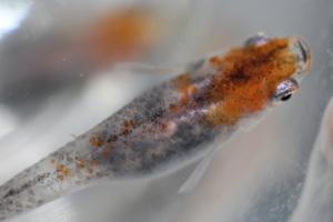 三色透明鱗メダカSサイズ